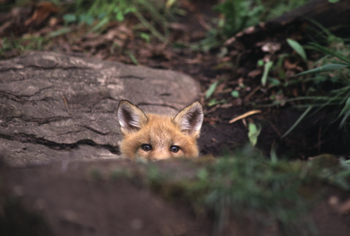 Red fox peeking over rock in the forest 157313849