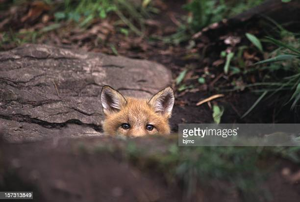 Red fox peeking over rock in the forest