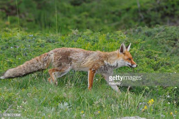 volpe rossa (vulpes vulpes) - volpe rossa foto e immagini stock