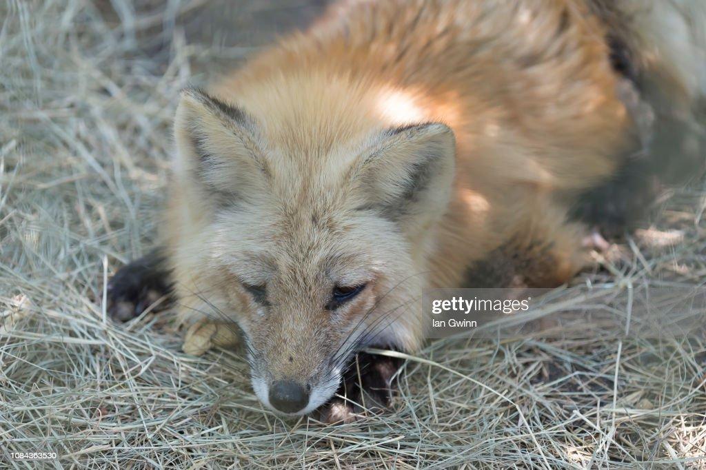 Red Fox : Stock Photo