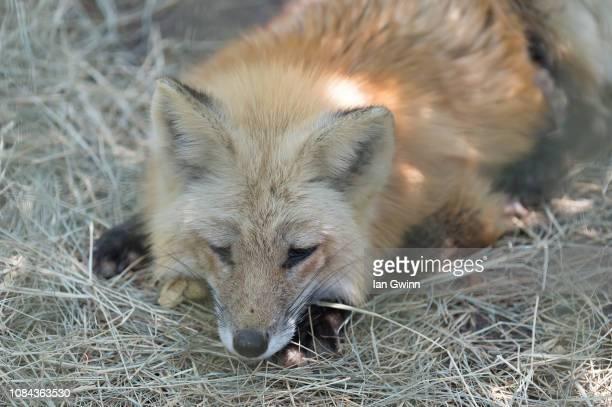 red fox - ian gwinn stockfoto's en -beelden