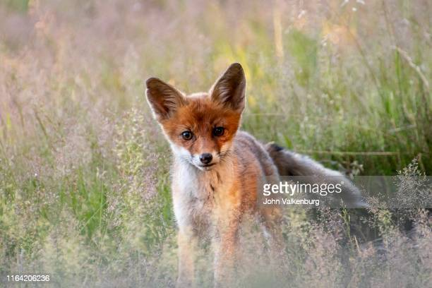 red fox - young animal stock pictures, royalty-free photos & images