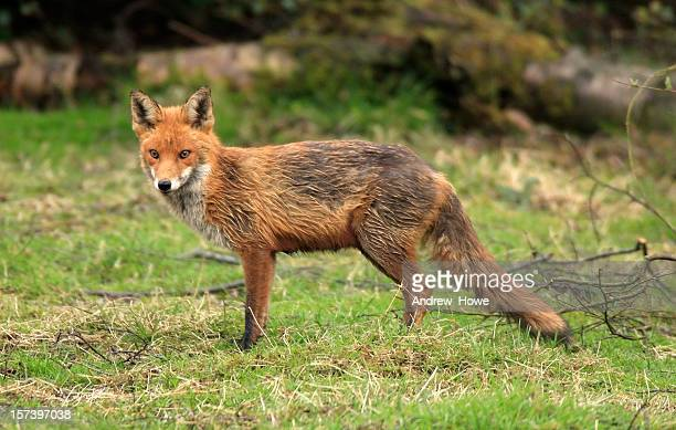 red fox (vulpes-vulpes) - red fox stock photos and pictures