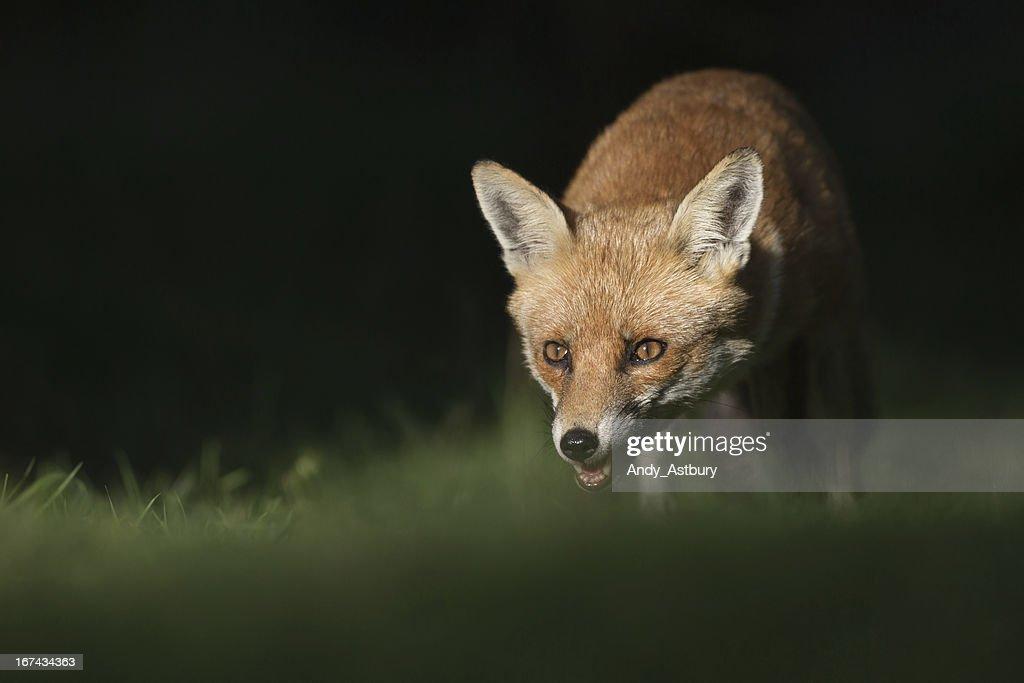 Raposa vermelha : Foto de stock