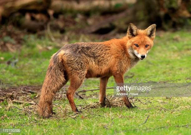 red fox (vulpe-vulpes) - red fox stock photos and pictures
