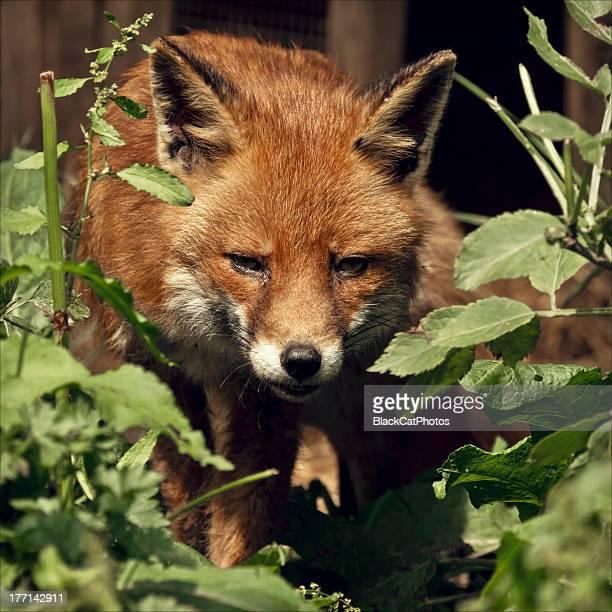 a red fox - モーペス ストックフォトと画像