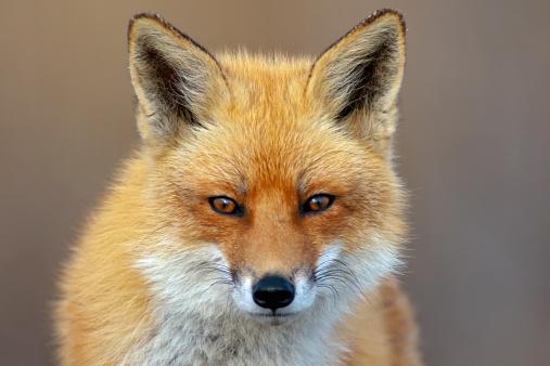Red Fox 179048862
