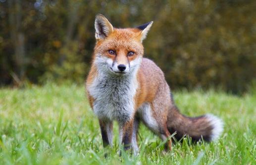 Red Fox 494415298