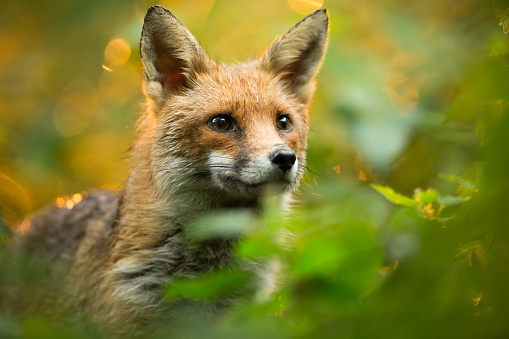 Red fox 501424096