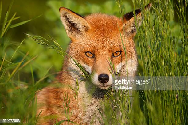 red fox - fox stock pictures, royalty-free photos & images