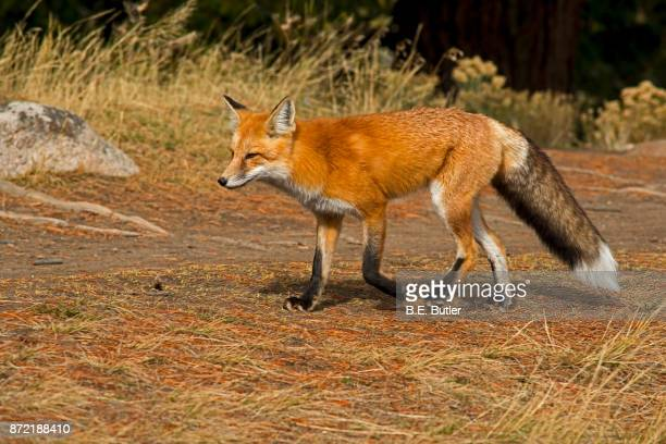 red fox - red fox stock photos and pictures
