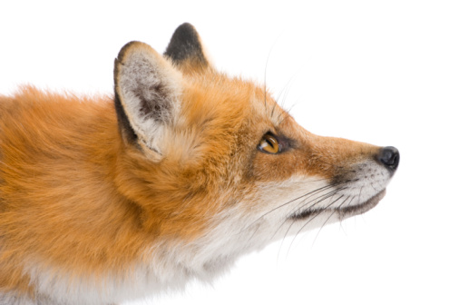 Red fox (4 years) 93215747