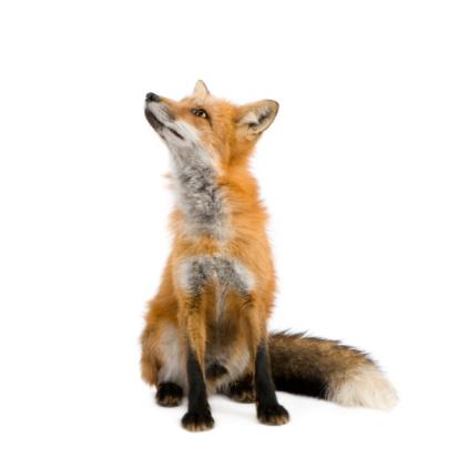 Red fox (4 years) 93215970