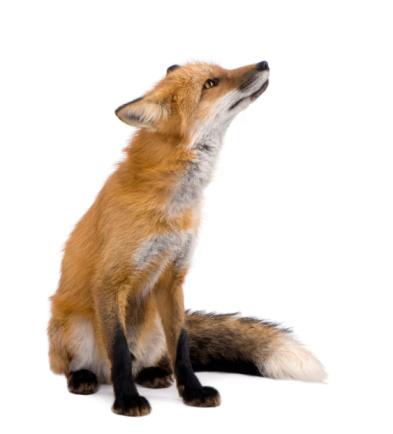 Red fox (4 years) 93216151