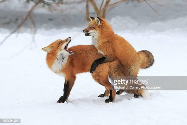 red fox playing - begattung kopulation paarung stock-fotos und bilder