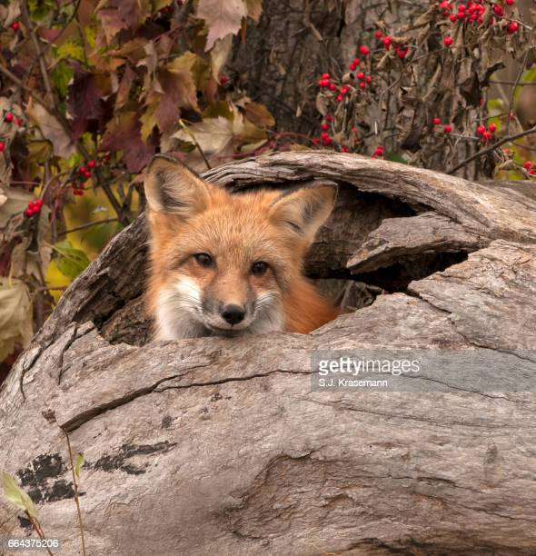 red-fox-poking-its-head-out-from-hole-in-dead-tree-picture-id664375206?s=612x612