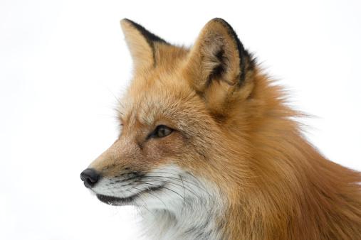 Red Fox Portrait 173862578