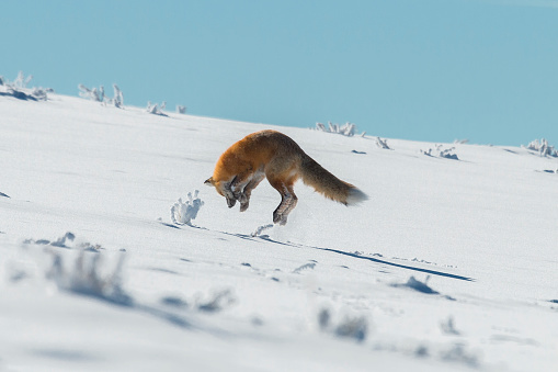 Red fox pouncing on prey in Yellowstone National Park, Wyoming 635703686