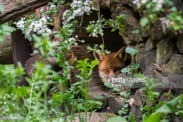 Red fox resting in hollow tree trunk in woodpile in forest