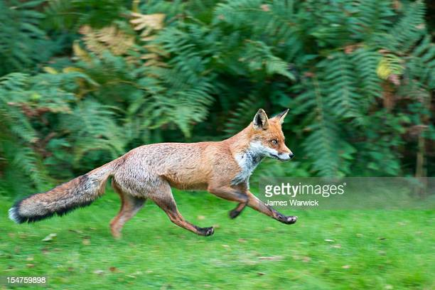 Red fox running at edge of forest