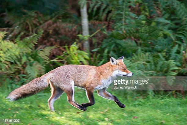 Red fox running at the edge of a forest