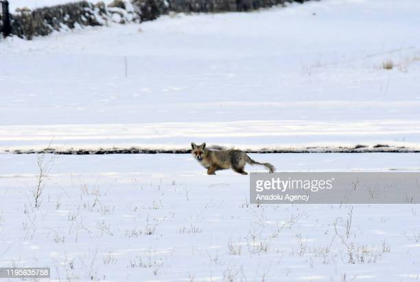 A red fox running in snow as it looks for food during winter in Kars province in Eastern Anatolia Region Turkey on January 24 2020