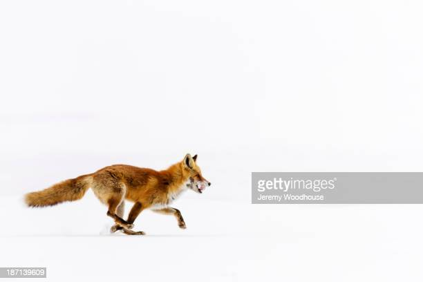 Red fox running in snowy landscape