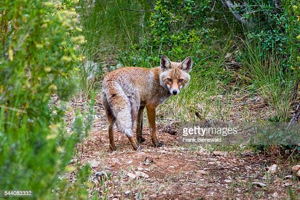 Red Fox seen in Maremma Regional Park also known as Uccellina Park Parco dellUccellina