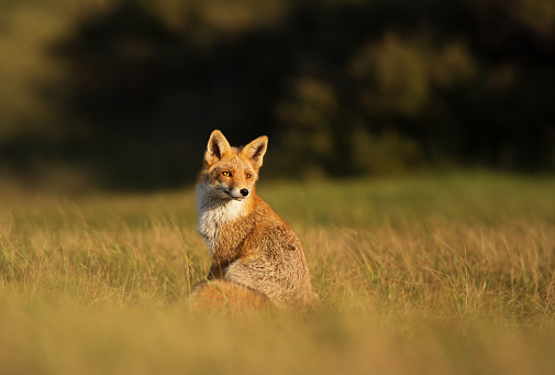 Red fox sitting in the field on a sunny day 1043055360