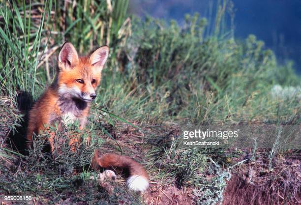 red fox sitting - wild dog stock pictures, royalty-free photos & images