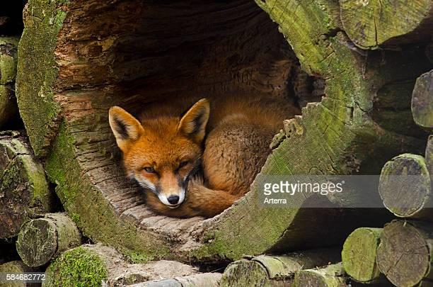 Red fox sleeping in hollow tree trunk in woodpile
