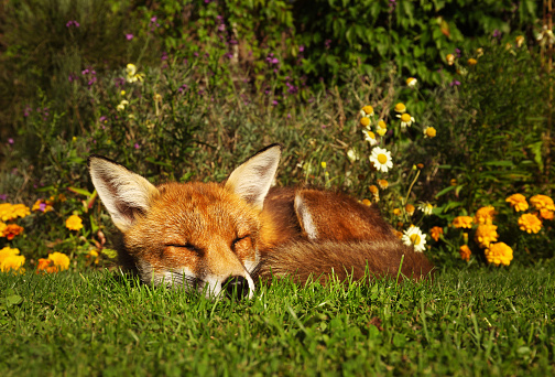 Red fox sleeping in the garden with flowers 927393824