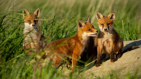 Red fox small young cubs near den curiously watching around 1127591932