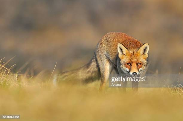 Red fox sneaking up prey the Netherlands