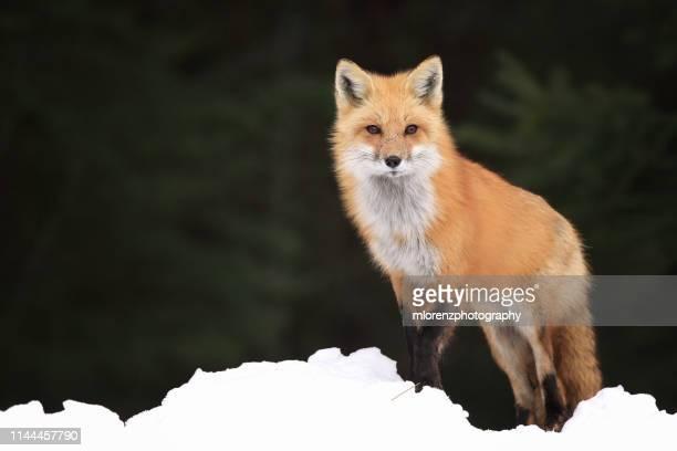 red fox & snow - volpe rossa foto e immagini stock