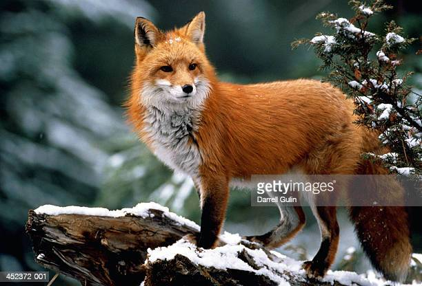 red fox (vulpes vulpes) standing on snow-covered log - fox stock pictures, royalty-free photos & images
