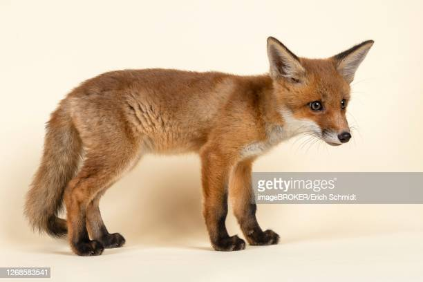 red fox (vulpes vulpes), stretched, young animal, standing, lateral, captive, 8 weeks, studio recording, austria - vista lateral stock pictures, royalty-free photos & images