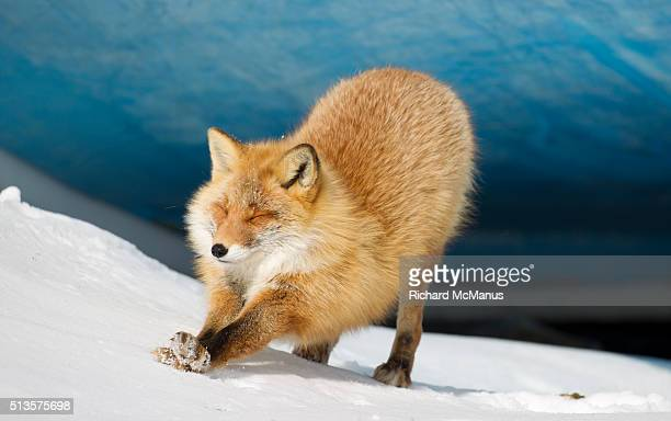 Red  fox stretching in snow.