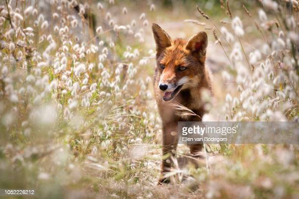 a red fox surrounded with tall lagurus grass on the cliffs of pointe du grouin, near cancale - cancale photos et images de collection
