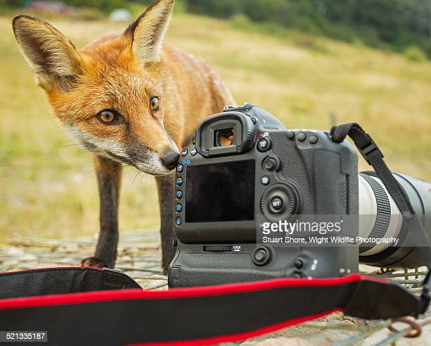 Red Fox taking a close look at a camera