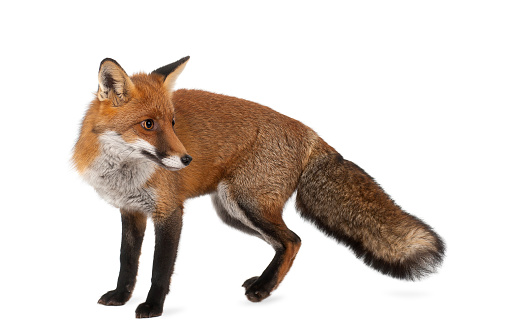 Red fox, Vulpes vulpes, 4 years old, standing 522871434