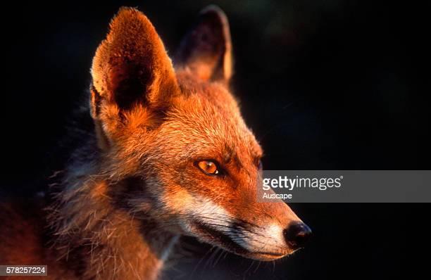 Red fox Vulpes vulpes close shot of head