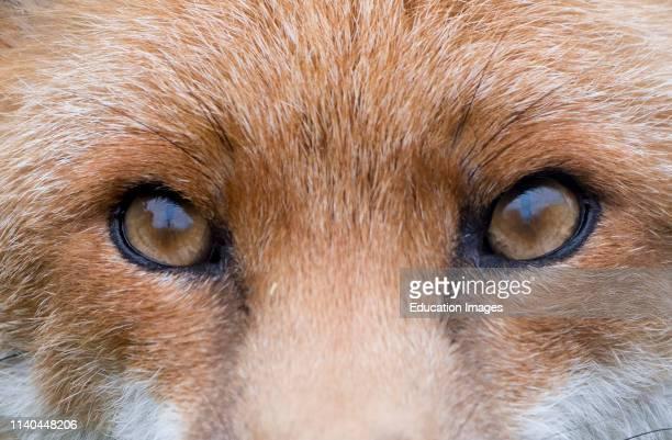 Red Fox Vulpes vulpes close up of eyes and face Kent