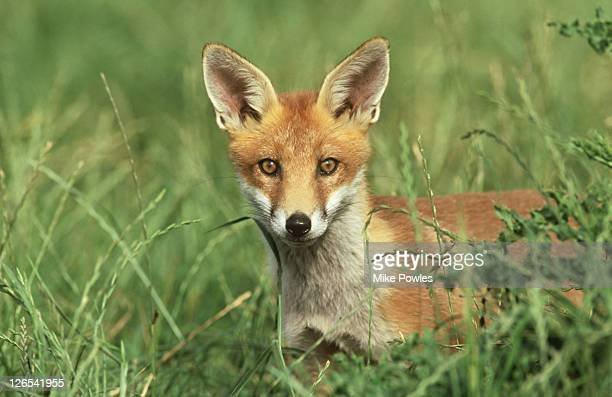 red fox, vulpes vulpes, cub in grass, norfolk, uk - red fox stock pictures, royalty-free photos & images