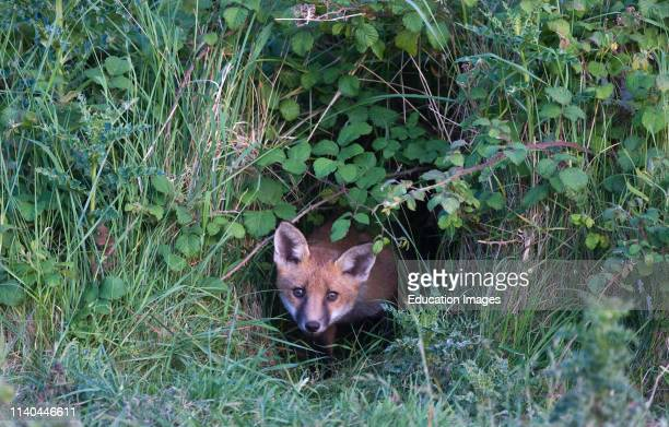Red Fox Vulpes vulpes cub peering from brambles where den is located Morston Norfolk