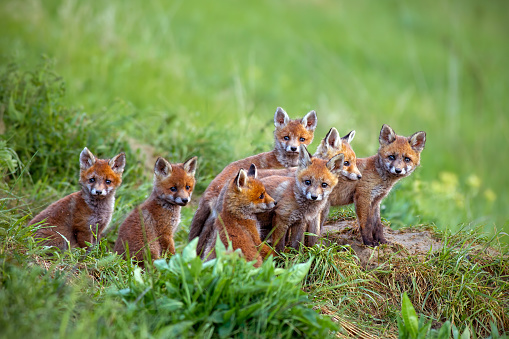 Red fox, vulpes vulpes, cubs sitting by the den. 1127592997