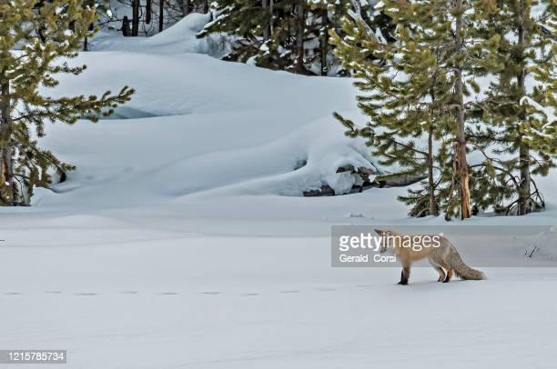 volpe rossa, vulpes vulpes, nella caccia alla neve nel parco nazionale di yellowstone, wy - volpe rossa foto e immagini stock
