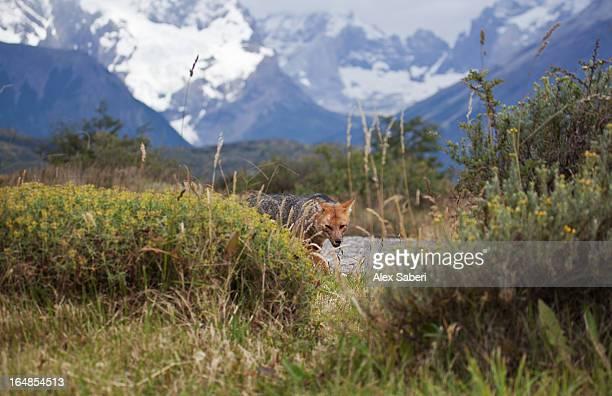 a red fox, vulpes vulpes in torres del paine national park. - alex saberi foto e immagini stock