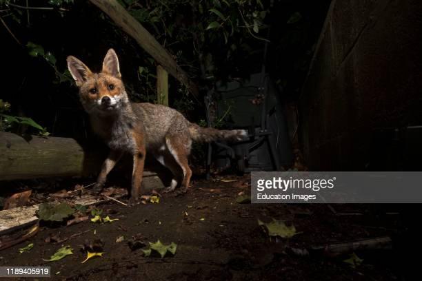 Red Fox Vulpes vulpes in urban garden Tunbridge Wells Kent