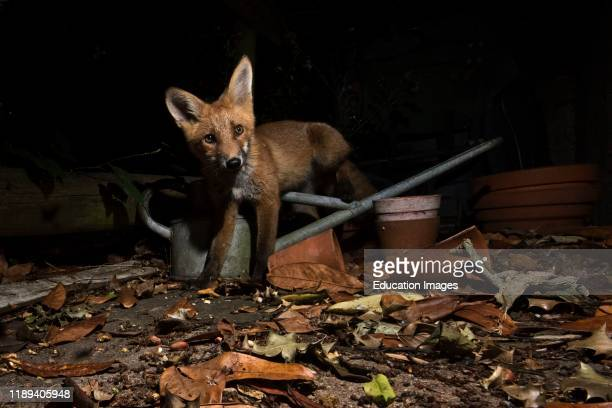 Red Fox Vulpes vulpes in urban garden Tunbridge Wells Kent